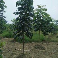 Mohangini Plant