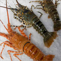 Frozen Lobster