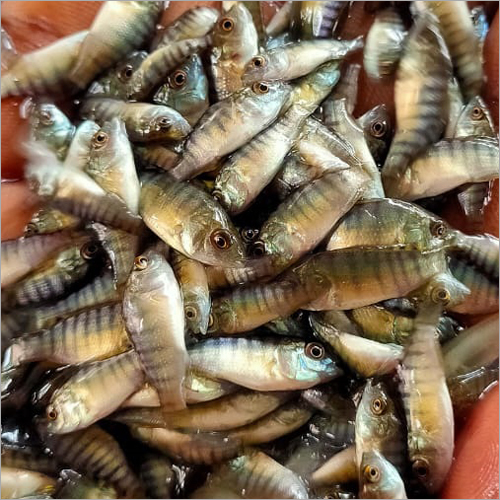 Monosex Tilapia Fish Seeds