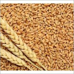 Whole Wheat Grain