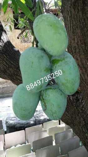 Talala Gir Organic Kesar Mango