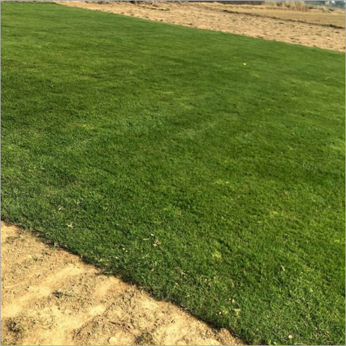 Selection Natural Lawn Grass