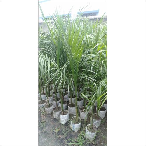 Arika Palm Plant