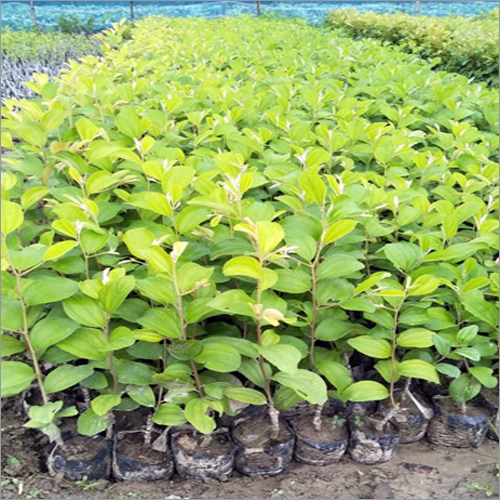 Green Apple Ber Plant