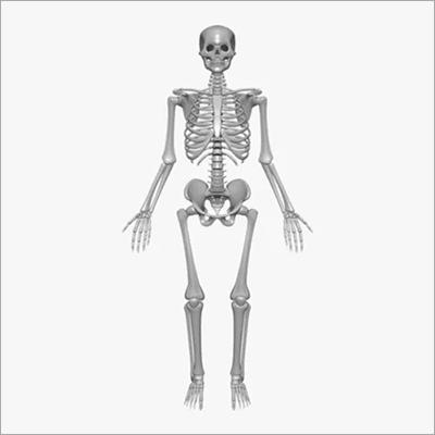 Human Skeleton & Torso