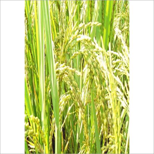 Swastik Paddy Grain Seed