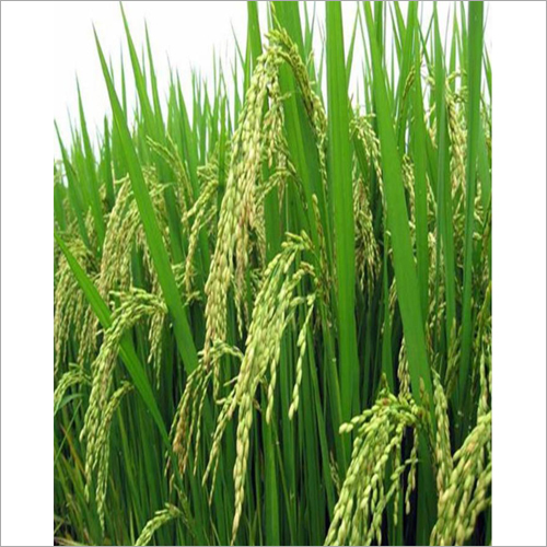 Shree Paddy Grain Seed