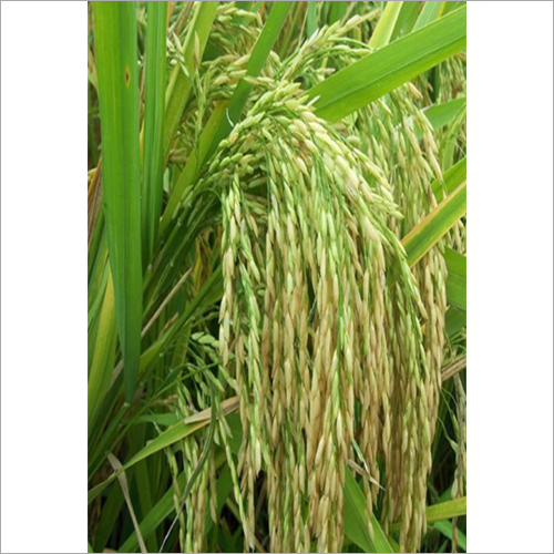 555 Scion Paddy Grain Seed
