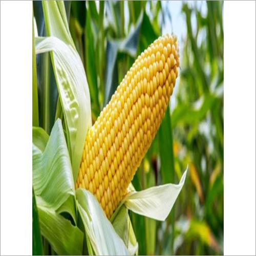 Bhairav Maize Seed