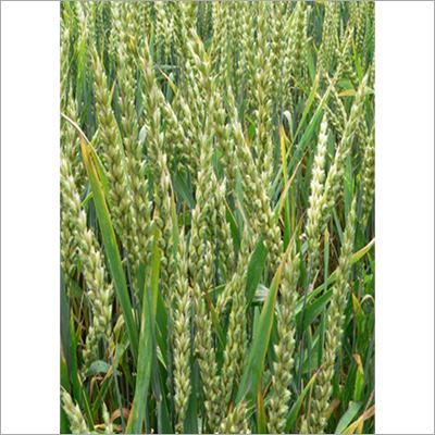 Keshav Wheat Seed