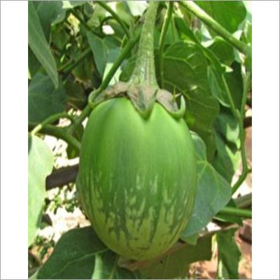 Green Brinjal Seed
