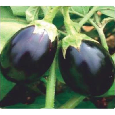 Vimla Hybrid Brinjal Seed