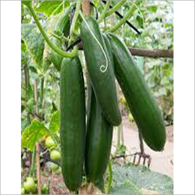 King Fresh Cucumber Seed