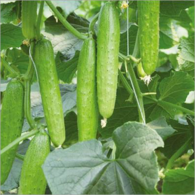 Green Perl Cucumber Seed