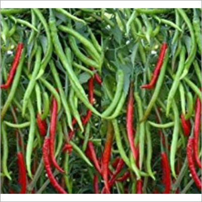 Hot Thaiwan Chilli Seed