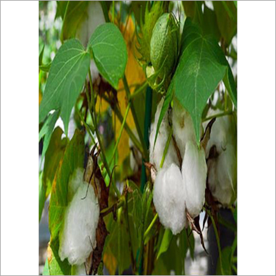 Bhadra Raw Cotton Seed