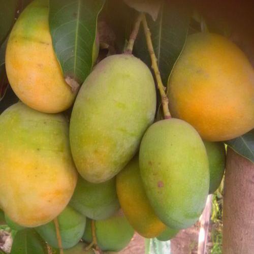 Imam Pasand Mangoes