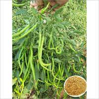 Dhruv Tara Hybrid Chilly Seed