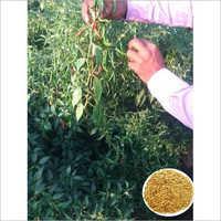Ramya Teja G4 Hybrid Chilli Seeds