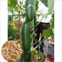Hybrid Green Cucumber Seed