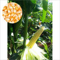 Hybrid Sweetcorn Seeds