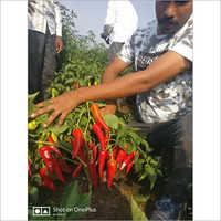 315 Hybrid Chilli Seeds