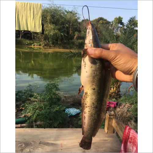 Magur Fish Seed