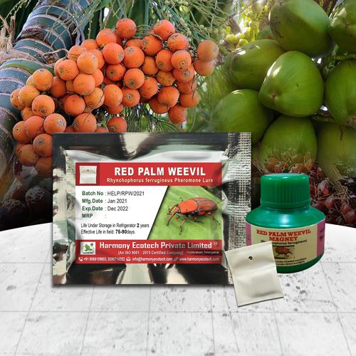 Rhynchophorus ferrugineus - Red Palm Weevil
