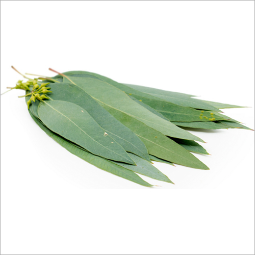 Eucalyptus Leaves Store In Cool