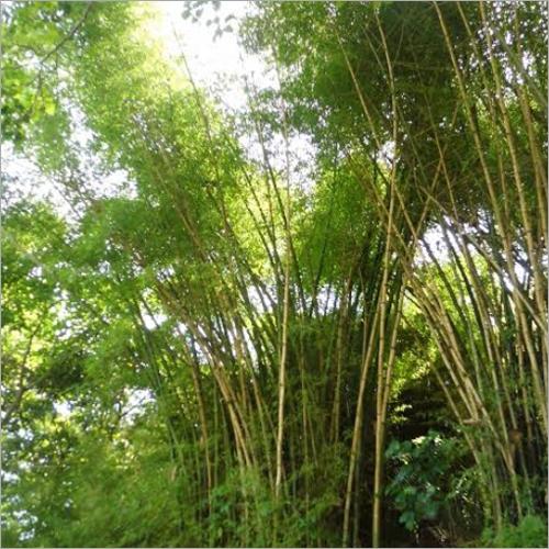 Natural Bamboo