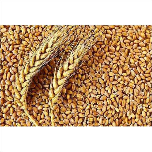 Common Wheat Grain