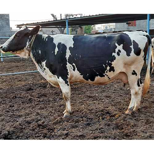 Pure Holstein Friesian Cow