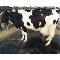Pure Breed Holstein Friesian Cow