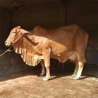 High Breed Sahiwal Cow