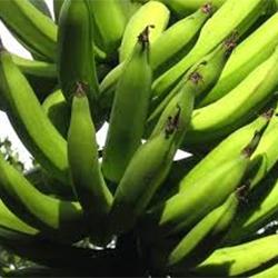 Green Nendran Banana