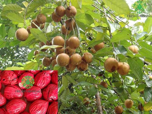 Keralashree (Nutmeg)