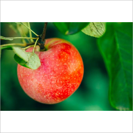 apple tree spray oil 2