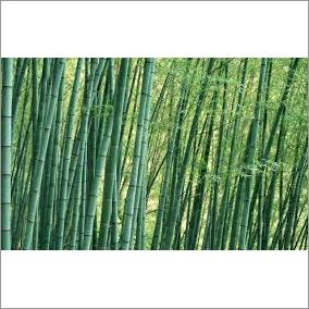 Bambusa Atra