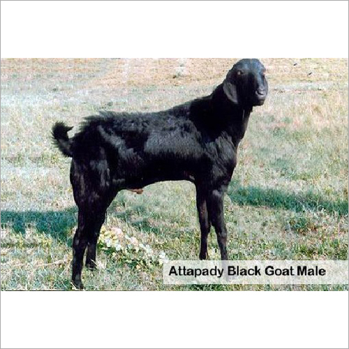 Attappady Male Black Goat
