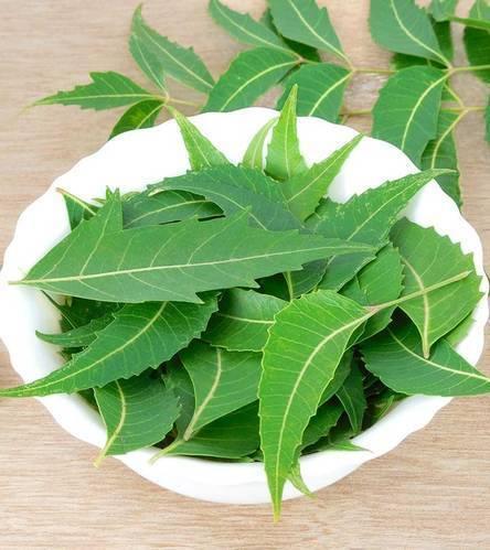Fresh Neem Leaves