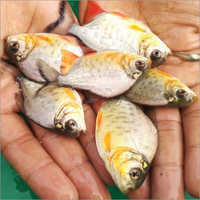 Roopchand Fish Seeds