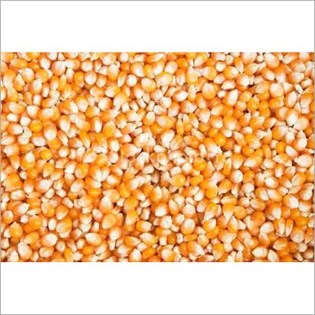 Maize Grain