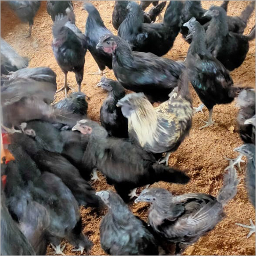 Original Farm Kadaknath Chicken