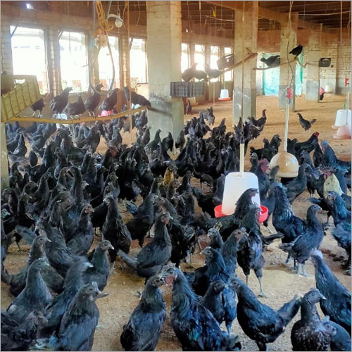 Original Farm Kadaknath Chicken