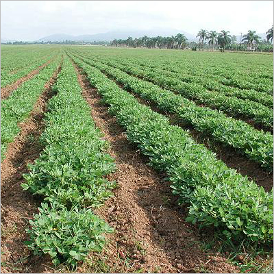 Groundnut Farming