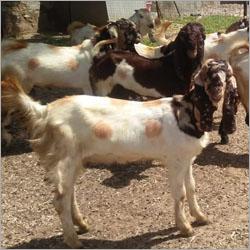 Totapari Goat