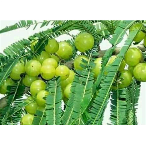 Amla Fruit Plant