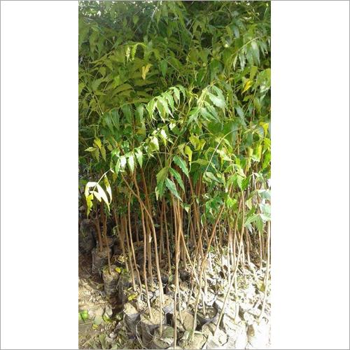 Black Stone Mango Plant