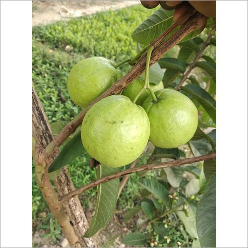 G Vilas Guava Plant