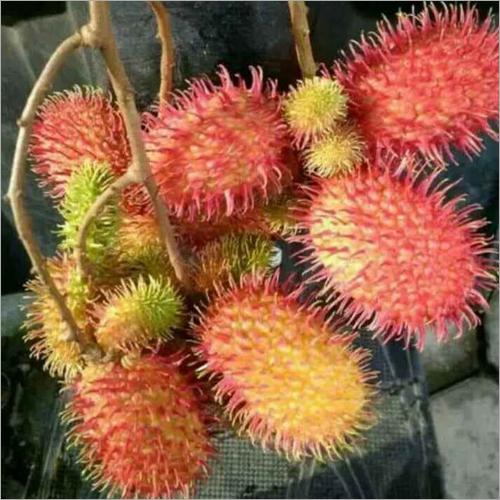 Lychee Fruit Plants